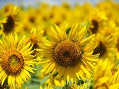 2018 Sunflower #5 (Yorkey&Rin) Tags: 2018 august em5markii flower japan kanagawa kawasaki macro olympus olympusm14150mmf4056ii p8140044 rin summer sunflower ヒマワリ 夏 川崎市 早野 八月 麻生区