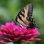 Zinnia with Eastern Tiger Swallowtail thumbnail