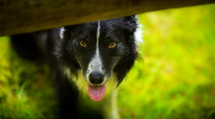 I See You (JJFET) Tags: border collie dog dogs sheepdog herding