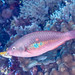 Bluepatch parrotfish initial phase (Scarus forsteni)