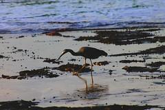 Reflejo / Reflect (cami.martinez) Tags: solo pajaro reflejo mar arena sand sea bird alonne reflect park comida food