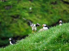 Landing (Feldore) Tags: faroeislands puffin mykines flying landing nesting faroe islands colourful feldore mchugh em1 olympus 35100mm panasonic colony