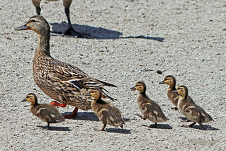 Mallard Hen And Ducklings 18-0527-0265