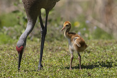 Sandhill Crane Colt (Stephen J Pollard (Loud Music Lover of Nature)) Tags: sandhillcrane antigonecanadensis grullagris shorebird aveplayera bird ave