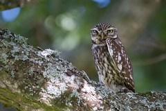 Sussex Athene 1 (ossie.g) Tags: little owl athene noctua tree sussex