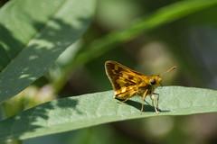 Little Skipper (pablo_blake) Tags: butterfly grassskipper pecksskipper politespeckius chastetree