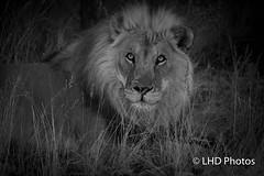untitled-4891.jpg (LHDPhotos) Tags: blackandwhite animal lion africa namibia rescuedanimals