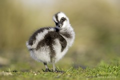 Cape Barren gosling (Jims Wildlife) Tags: capebarrengoose cereopsisnovaehollandiae bird gosling australia