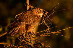Livermore_SGP_080518_123 (kwongphotography) Tags: kennethwongphotography kwongphotography wildlife wildlifephotography nature naturephotography california ca calif animallovers birds owls owl greathornedowl livermore unitedstates