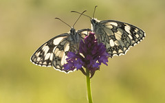 Marbled White (Melanargia galathea). (Bob Eade) Tags: marbledwhite melanargiagalathea pyramidalorchid seaford sussex eastsussex southdownsnationalpark summer morning brown britishbutterflies britishwlidlife wildlife downland grassland black white lepidoptera macro butterflies butterfly insects