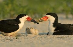 Black skimmer (suraj.ramamurthy) Tags: nikkor500mm nikond500 longislandbeaches