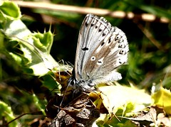 Chalkhill Blue ? Ab 7.8.18 (ericy202) Tags: chalkhillblue ab male warham camp norfolk