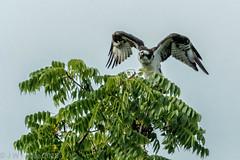 Osprey In A Tree (jwfuqua-photography) Tags: osprey nature birds pennsylvania birdsofprey peacevalleynaturecenter jwfuquaphotography buckscountyparks buckscounty jerrywfuqua