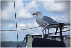 Hitch-Hiker I (LeonardoDaQuirm) Tags: grevelingen sailing seagull gull möwe seemöwe segeln nederland delta