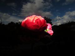 Rosa (JCMCalle) Tags: image photohoot fhotografy photofrapher nofilter naturaleza nature naturephotography nofilters jcmcalle flores flor flower flowers blossom blossoms
