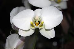 Orchid Show 2018-89 (actor212) Tags: orchid orchids orchidshow2018 newyorkbotanicalgarden bronx newyork nyc newyorkcity bronxnewyork