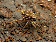 Wolf Spider Mom with Spiderlings (treegrow) Tags: rockcreekpark washingtondc nature lifeonearth raynoxdcr250 arthropoda arachnida araneae lycosidae