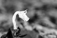 The Song is Over (Wicked Dark Photography) Tags: bw indianpipe om90mmf2macro wisconsin backyard blackandwhite closeup flower flowers forestfloor macro monochrome nature summer wildflower wildflowers
