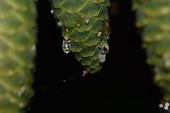 Generous nature (LUMEN SCRIPT) Tags: closeup pine green drop macro colours nikond3300 nature bokeh dslr nikon close perspective artistic
