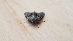 20180814_065811 (Paul Young1) Tags: treelichenbeauty cryphiaalgae noctuidae 1 one single moth moths animal animals insect insects insecta arthropod arthropods arthropoda lepidoptera nature wild wildlife uk british britain perched perching close study imago unitedkingdom closeup front frontview closedwings head face eye eyes