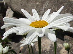 like a balerina (VERUSHKA4) Tags: fleur flora garden monastery yard canon europe russia northerneurope solovetskyarchipelago island solovetskymonastery arkhangelskyregion summer july summertime blossom nature travel petal pistil stamen vue view grey white yellow chamomile daizy