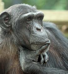 chimpanzee Vizuri  artis JN6A1219 (j.a.kok) Tags: chimpansee chimpanzee pantroglodytes animal artis africa afrika aap ape primate primaat mammal monkey mensaap zoogdier dier vizuri