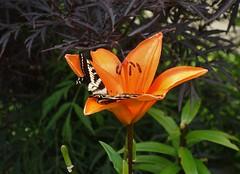 Dodo dans le lys (Iris@photos) Tags: nature papillon fleur lys