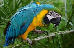 Blue & Gold Macaw (ChrisF Photography) Tags: blue gold macaw parrot feathers nature green leaves tree exotic animal bird