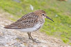 Dunlin (drbut) Tags: dunlin calidrisalpina wader water shallowwater bird birds avian wildlife nature canonef500f4lisusm