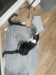20180719_223535 (sobca) Tags: cat kottur kitte eesa miu kat pussi kato chat katze popoki gatto chatool billi felis cattus gato katt meo кошка बिल्ली 猫 γάτα vighro ᏪᏌחתול