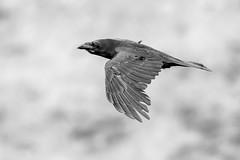 B&W Raven (Happy snappy nature) Tags: raven bird birdinflight wings wild wildlife wales outdoors nature nikond810 nikon200500
