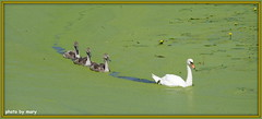 Swimming in the duck weed (maryimackins) Tags: duck weed swan cygnets swimming hever wildlife mary mackins