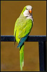 Cotorra común o Catita (Totugj) Tags: nikon d7500 nikkor 55300mm teleobjetivo cotorra común catita reserva ecológica costanera sur buenos aires argentina animales birds bird aves argentinas pájaros uccelli