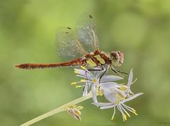 Sobre la flor de la malamadre / about the flower of the spider plant (eme emepe) Tags: micronikkor105mm28 nikond500 spiderplant malamadre macro dragonfly libélula sympetrumfonscolombii chlorophytumcomosum