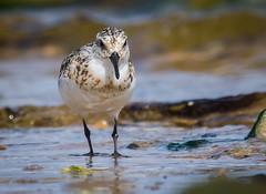 Sanderling (8 of 8) (ianrobertcole1971) Tags: sanderling wader bird seabird beach nikon