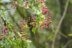 Hawthorns (eric robb niven) Tags: ericrobbniven scotland hawthorn berries hedge tree springwatch
