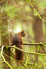 RS2 WM (John Thirkell) Tags: wild wildlife formby beach liverpool red squirrel sciurus vulgaris tree trees wood woods forrest woodland woodlands habitat nature food feed feeding