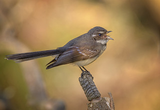 in the shadows - a grey fantail