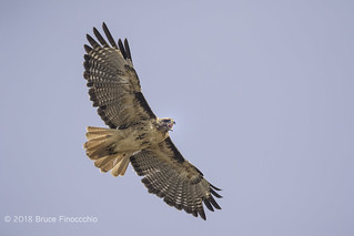 Red-tailed Hawk Cries Out During Flight