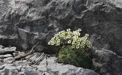 Miracolo (lincerosso) Tags: piante fiori flowers fioridimontagna florarupestre sassifragaverdeazzurra saxifragacaesia marmarole cadore estate bellezza armonia miracolonaturale