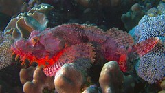 P1-009220 (charlesvanlangeveld) Tags: scorpionfish scorpaenidae redsea masaalam egypt underwater scuba dicing schorpioenvis toxic poison fish portraits