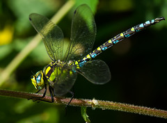 Southern Hawker Dragonfly (ianrobertcole1971) Tags: southern hawker dragonfly macro nikon d7200 300 f4 pf ed insect invertebrate