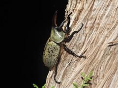 Western Hercules Beetle (d_taron) Tags: unitedstates arizona beetles coleoptera scarabeidae dynastinae dynastes dynastesgranti