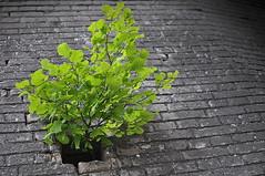 Grüne Kraft - Green Power (Bernd Kretzer) Tags: pflanze plant mauer wall wachsen growing