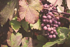 Grapes in the East Midlands! (d.barnett53) Tags: leaves plants macro garden tree redgrapes grapes vine