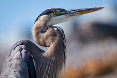 Adult Great Blue Heron (sniggie) Tags: ardeaherodias ardeidaefamily greatblueheron landbetweenthelakesnationalrecreationarea bird kos