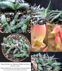 Gasteria bicolor var. liliputana (collage)