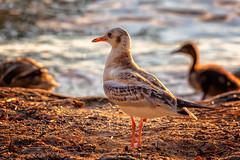 Birds (anderswetterstam) Tags: birds evening light nature seasons animals duck mallard seagull summertime summer sunlight sunshine sunset water parenting