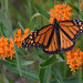 Monarch and Butterfly Milkweed