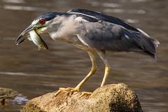 Black Crowned Night Heron 1 (Mr. Low Notes) Tags: 6d blackcrownednightheron heron crane bird fowl water fish wildlife outdoors